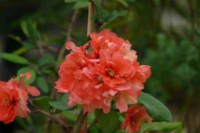 Arbustes fleurs cognassier du japon jardinerie for Jardinerie salon de provence