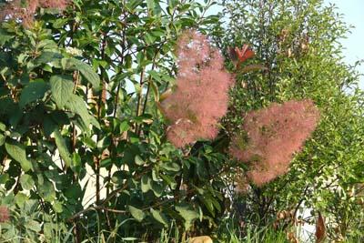 Arbustes fleurs cotinus jardinerie taberner fleurs for Jardinerie salon de provence