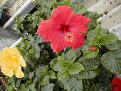 arbustes fleurs jardinerie taberner fleurs pr s de salon de provence bouches du rh ne. Black Bedroom Furniture Sets. Home Design Ideas