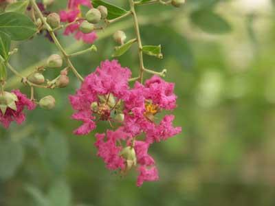 Arbustes fleurs lagerstroemia jardinerie taberner for Jardinerie salon de provence