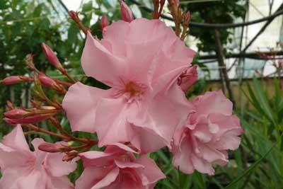 laurier rose madame planchon jardinerie taberner fleurs pr s de salon de provence et miramas. Black Bedroom Furniture Sets. Home Design Ideas