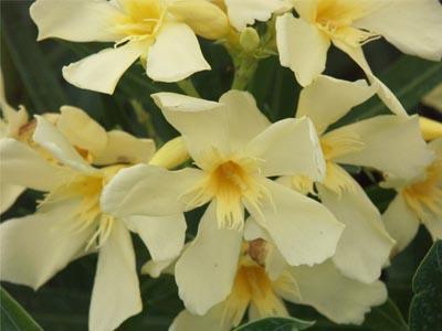 Laurier Rose Jardinerie Taberner Fleurs Pres De Salon De Provence