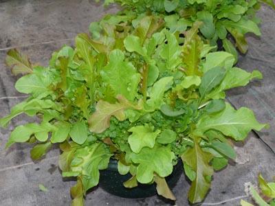 potager en pot vente de plants de l gumes pr s de salon de provence bouches du rh ne. Black Bedroom Furniture Sets. Home Design Ideas