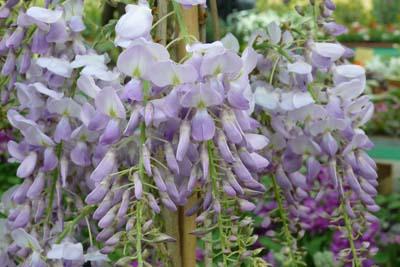 Liane glycine sinensis jardinerie taberner fleurs pr s for Jardinerie salon de provence