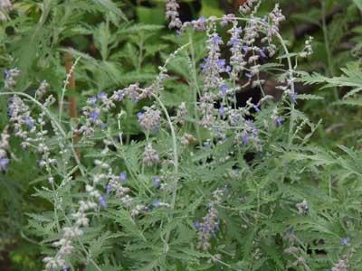 Arbuste fleurs p rovskia jardinerie taberner fleurs for Jardinerie salon de provence