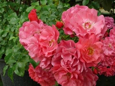 les rosiers jardinerie taberner fleurs pr s de salon de provence bouches du rh ne. Black Bedroom Furniture Sets. Home Design Ideas