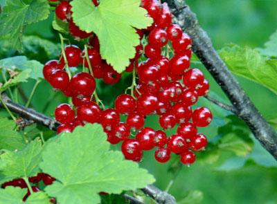 fruitiers fruit rouge jardinerie taberner fleurs pr s de salon de provence bouches du rh ne. Black Bedroom Furniture Sets. Home Design Ideas