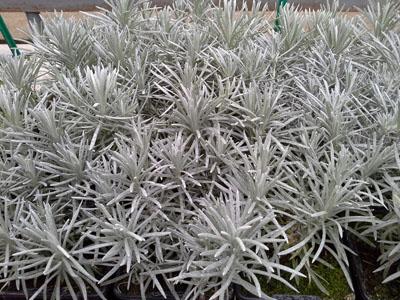 Helicrysum jardinerie taberner fleurs pr s de salon de for Jardinerie salon de provence