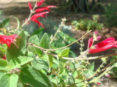 Sauge ananas jardinerie taberner fleurs pr s de salon de for Jardinerie salon de provence
