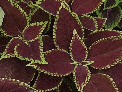 Plant de coleus jardinerie taberner fleurs pr s de salon for Jardinerie salon de provence