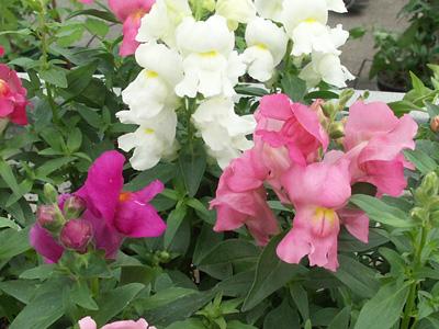 Plant de muflier jardinerie taberner fleurs pr s de for Jardinerie salon de provence