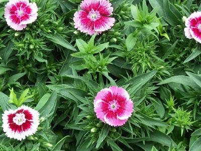 Plant de oeillet de chine jardinerie taberner fleurs pr s de salon de provence bouche du rhone - Oeillet de chine ...