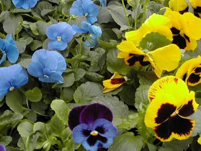 Plant de pens e jardinerie taberner fleurs pr s de salon for Jardinerie salon de provence