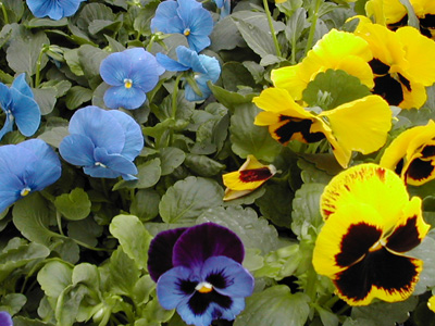 Plant de pens e jardinerie taberner fleurs pr s de salon - Jardinerie salon de provence ...
