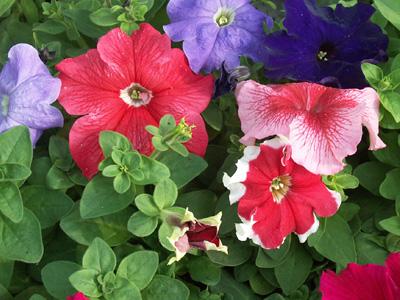 Plant de petunia jardinerie taberner fleurs pr s de for Jardinerie salon de provence