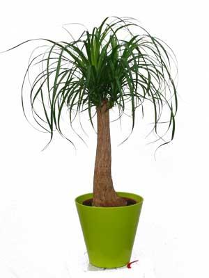 beaucarnea plante verte jardinerie taberner fleurs pr s. Black Bedroom Furniture Sets. Home Design Ideas