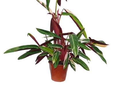 Calathea triostar plante verte jardinerie taberner for Jardinerie salon de provence