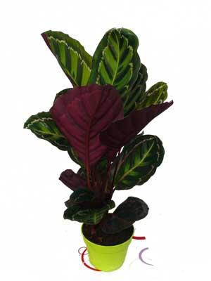 Calathea plante verte jardinerie taberner fleurs pr s de for Jardinerie salon de provence