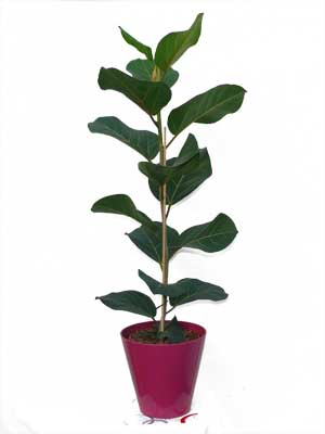 Caoutchouc ficus plante verte jardinerie taberner fleurs - Jardinerie salon de provence ...