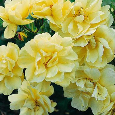 Rosier paysager celina jardinerie taberner fleurs pr s for Jardinerie salon de provence