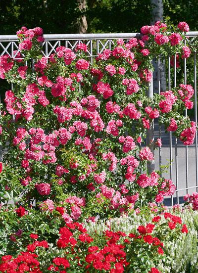 Rosier grimpant emera jardinerie taberner fleurs pr s de for Jardinerie salon de provence