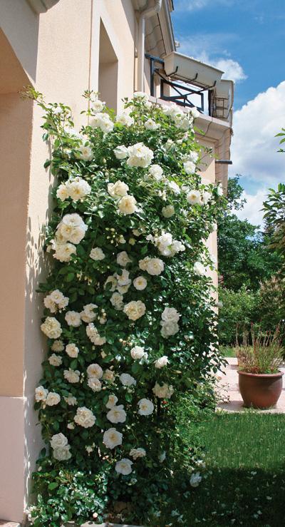 Rosier grimpant opalia jardinerie taberner fleurs pr s - Jardinerie salon de provence ...