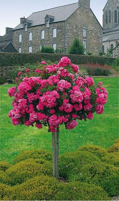 Rosier tige emera jardinerie taberner fleurs pr s de - Jardinerie salon de provence ...