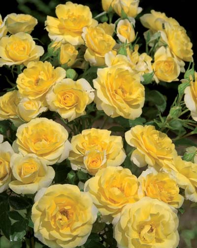 Rosier mercantour jardinerie taberner fleurs pr s de for Jardinerie salon de provence