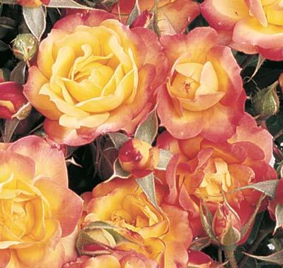 Rosier palatino jardinerie taberner fleurs pr s de salon - Jardinerie salon de provence ...