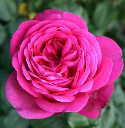 Roisier parfum de honfleur jardinerie taberner fleurs pr s for Jardinerie salon de provence