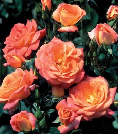 Rosier surf jardinerie taberner fleurs pr s de salon de for Jardinerie salon de provence