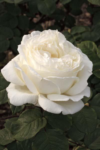 Jeanne moreau r meidiaphaz jardinerie taberner fleurs - Jardinerie salon de provence ...