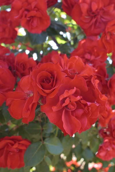 La sevillana r meigekanu jardinerie taberner fleurs - Jardinerie salon de provence ...