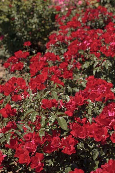 La sevillana r plus meishitai jardinerie taberner - Jardinerie salon de provence ...