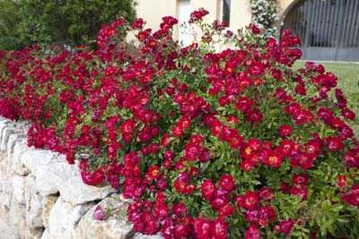 Red drift r meigalpio jardinerie taberner fleurs pr s for Jardinerie salon de provence