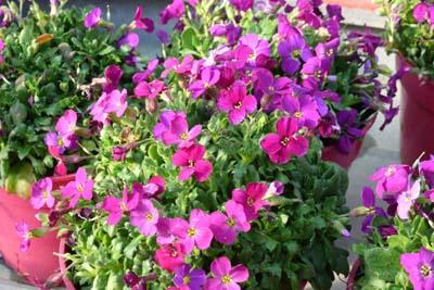 Aubrietia jardinerie taberner fleurs pr s de salon de for Jardinerie salon de provence