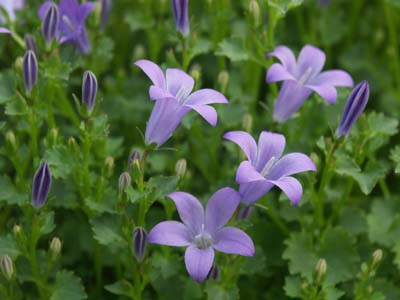 Campanule jardinerie taberner fleurs pr s de salon de for Jardinerie salon de provence