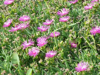 Delosperma cooperi jardinerie taberner fleurs pr s de for Jardinerie salon de provence