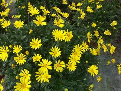 Euryops jardinerie taberner fleurs pr s de salon de for Jardinerie salon de provence