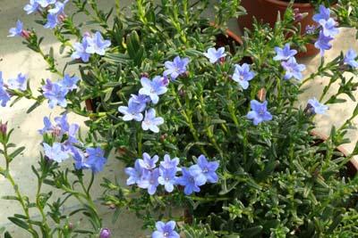 Lithodora jardinerie taberner fleurs pr s de salon de for Jardinerie salon de provence