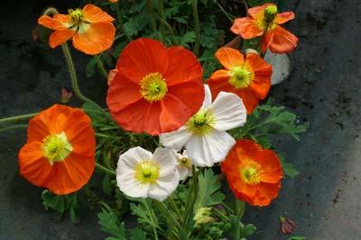 Pavot jardinerie taberner fleurs pr s de salon de - Jardinerie salon de provence ...