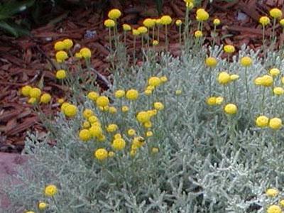Santoline chamaecyparissus jardinerie taberner fleurs for Jardinerie salon de provence